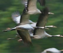 Die Kraniche fliegen ab Mitte August bis Ende Oktober jeden Abend zu den Schlafplätzen im Müritz-Nationalpark © Naturfotografie Roman Vitt